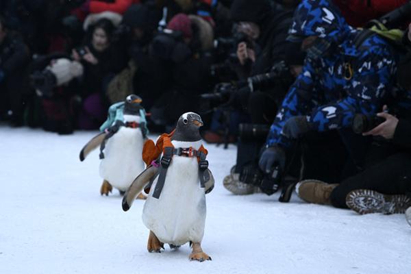 哈尔滨冰雪大世界上演最萌企鹅T台秀
