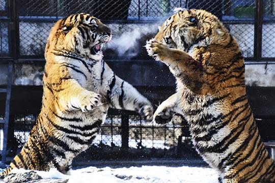 """雪后哈尔滨""""森林之王""""东北虎尽显威风"""