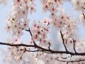 南京鸡鸣寺的樱花已经进入最后观赏期,想看樱花雨的人们抓紧时间啦!(图/张岚)