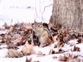说好的春天迟迟未来,吉林大地上的小动物们显得颇为着急。图为长春?#24515;?#28246;公园内在雪地中觅食的花栗鼠。(图 文/刘东辉 张欣彤)