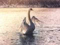 早春的?#38470;?#20234;犁天鹅湖湿地公园里,疣鼻天鹅在阳光半洒的湖面上嬉戏玩耍。(摄影/杨晞)
