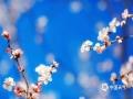 3月14日,?#26412;?#22823;?#22235;?#22363;公园的?#19968;?#30427;开。?#31859;?#38451;光正好,适宜赏花出游。(图/郑睿)