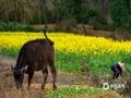 春到江南,?#19981;?#40644;山市黟县的南屏村,春雨细芒悄悄打湿了牛犊的?#36225;#?#22270;/程大亮)