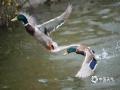 春江水暖鸭先知!随着京城气温升高,北京动物园里水禽也开始活跃起来,天鹅、野鸭、鸳鸯在湖面出双入对、打打闹闹,谱出一池春之盎然。(图/王晓)
