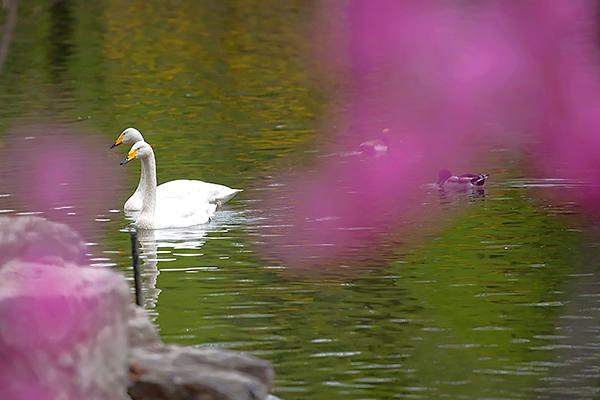 暖!北京动物园天鹅鸳鸯成双共戏水