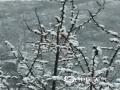 今天(9日)早上,北京门头沟、怀柔、房山等地出现四月飞雪,一派银装素裹的景象,?#36335;?#31359;?#20132;?#20102;冬季。图为房山蒲洼山区降雪。(卢通洋 摄)