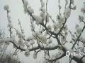 """今天(9日)早上,北京门头沟、怀柔、房山等地出现四月飞雪,一派银装素裹的景象,?#36335;?#31359;?#20132;?#20102;冬季。图为香山的桃花戴上了雪""""帽子""""。(张金艳 摄)"""