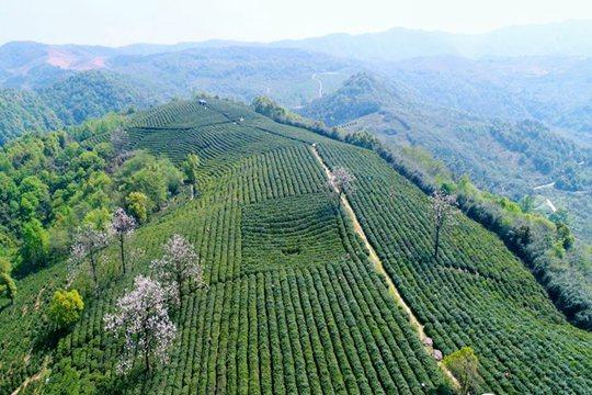江西九江:春茶吐翠 茶农采茶忙