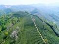 江西九江:春茶吐翠 茶农采�Z隆隆陡然茶忙