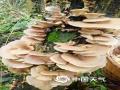 春季万物复苏,在湖南省湘西州吉首市的山林里,山货们也悄悄冒出了头,这一簇簇长在树上的菌类如花儿一般簇拥着尽情生长,展现着原始大自然的魅力。(文/刘玥 图/吴飞)
