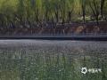 今天(16日)北京依旧暖意不减,柳絮随风飘舞。在昆玉河麦钟桥附近,道路边、草丛里、河面上都能见到柳絮的身影,远远望去,白茫茫一片。(图/王晓)
