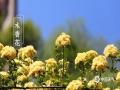 春暖花开,各地春花都在迎春绽放,除了我们身边常见的桃花、李花、杏花外,我国南北各地还有不同种类的娇艳春花,下面就来一睹为快。图为南京古林公园的木香花。(图/刘霞)