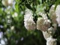 春暖花开,各地春花都在迎春绽放,除了我们身边常见的桃花、李花、杏花外,我国南北各地还有不同种类的娇艳春花,下面就来一睹为快。图为南京清凉山公园的绣球花。(图/刘霞)