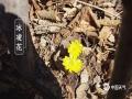 春暖花开,各地春花都在迎春绽放,除了我们身边常见的桃花、李花、杏花外,我国南北各地还有不同种类的娇艳春花,下面就来一睹为快。图为哈尔滨小岭镇雪山上的冰凌花。(图/吴胡荼)