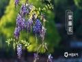 春暖花开,各地春花都在迎春绽放,除了?#39056;?#36523;边常见的桃花、李花、杏花外,我国南北各地还有不同种类的娇艳春花,?#26053;?#23601;来一睹为快。图为四川乐山的紫藤花。(图/张世妨)