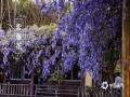 春暖花开,各地春花都在迎春绽放,除了我们身边常见的桃花、李花、杏花外,我国南北各地还有不同种类的娇艳春花,下面就来一睹为快。图为四川乐山的紫藤花。(图/张世妨)