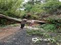 赤光镇出现树木倒伏,连根拨起。4月18日到19日,受持续强降水影响,广东龙川县出现雷暴、短时强降水等恶劣天气,全县普降暴雨局部大暴雨,多个乡镇出现农田被淹、山体滑坡、道路损毁等灾情。(文 :李思玲 图:三防办)