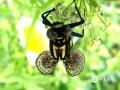 4月20日,地处罗霄山脉中段的江西省永新县禾川镇境内田间地头,出现一只翅膀呈螺旋状黑黄相间颜色的大蜻蜓。蜻蜓静静蛰伏于路边的花丛中,在阳光和草木之间,令人啧啧称奇。(图文/吴胡荼)