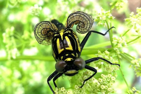 江西永新现翅膀呈螺旋状怪异蜻蜓