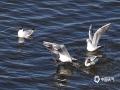 """4月22日,成千上万的各种迁徙候鸟,纷纷回归哈尔滨松花江这片""""风水宝地""""。绵延数千米的江面上,星罗棋布密密麻麻的这些小精灵,它们不时发出的呼唤和共鸣声,如同集体演绎一场《北国之春》开幕式,场面震撼令人叹为观止。(摄影/吴胡荼)"""