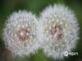 春到人间草木知,大地处处春意盎然,且看微距下蒲公英别具趣味。图片摄于4月15日贵州省大方县黄泥塘镇背座村路边。(图/罗大富)