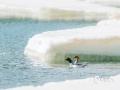 4月下旬,吉林抚松气温逐渐回升,众多江河开化,中华秋沙鸭也回到了它们的栖息地。(图/文 郭晓燕)