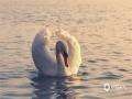 早春的新疆伊犁天鹅湖湿地公园景色优美,疣鼻天鹅在嬉戏玩耍。(图/杨晞)