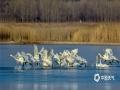 中国天气网讯 四月是候鸟迁徙的季节,内蒙古呼伦贝尔市海拉尔西山天鹅湖聚集了上千只迁徙候鸟。天鹅、大雁、丹顶鹤等在这里自由觅食、飞翔、栖息,悠然自得,成为这座城市一道靓丽的景观。(图/文 李孝荣)