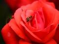 绚丽月季扮靓湖南衡阳街头 雨后花朵更娇艳