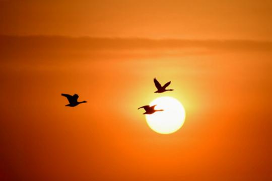 当天鹅遇上夕阳 画面美到窒息