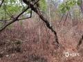 晴热无雨风高物燥,地表及森林植被含水率极低,楚雄州北部气象森林火险等级极高(极度危险)。(图/盛永昆)