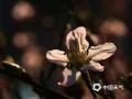 中国天气网讯 进入五月以来,内蒙古牙克石的天气乍暖还寒。一场春雨过后,公路两侧、街头巷尾和住宅小区绿化带栽植的榆叶梅花悄悄绽放,装点北疆小城,春意盎然。(图/余昌军)