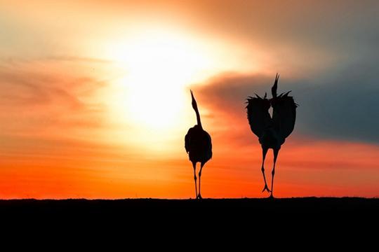 唯美!扎龙自然保护区丹顶鹤晚霞中翩翩起舞