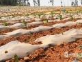 干旱造成马龙区大春作物特别是烤烟等旱地作物栽播不利,影响人畜饮水;(图/刘映辰)