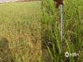 图为高温干旱导致蒙自市水稻生长发育受损,移栽苗高比常年同期偏低8厘米。(图/红河州气象局)