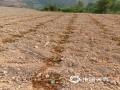 图为弥勒市江边乡小倮份村,连续高温致使烟田受灾5000余亩,烟苗死亡198亩,烟农们只能顶着高温,尽力抢救烟苗。(图/梁栋)
