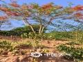 图为普洱市咖啡在干旱中艰难生长。(图/小凹子咖啡)