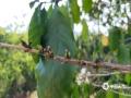 图为普洱市已达重旱,严重影响咖啡花芽的萌发和座果率。(图/小凹子咖啡)