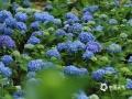 中国天气网讯 近日,随着气温升高,湖南永州阳明山国家森林公园里的绣球花竞相绽放,一朵朵、一簇簇、一片片,粉的、白的、蓝的,姹紫嫣红,繁花似锦。雨后娇翠欲滴的花瓣各自抢着绽放姿彩,迎接初夏的到来。(文/周丽珍 图/郑艳君)