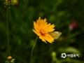 中国天气网讯 近期,湖南衡阳蒸水河风光带野花绽放,蜜蜂在花丛中采蜜,蜻蜓、蝴蝶在花丛中飞舞,构成了一道和谐亮丽的风景。(摄影/汪普林)
