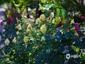"""中国天气网讯 月季原产中国,被誉为""""花中皇后"""",早在汉代就有栽培,后风行全世界,作为幸福、美好、和平、友谊的象征,深受人们喜爱。作为北京的市花,5月的京城处处都有月季的身影,或红、或粉,或满园开遍,或街边绽放,给首都带去一抹亮丽的颜色。(图/王晓 文/张晗熙)"""
