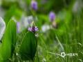 中国天气网讯 湖南衡阳南湖公园荷塘边梭鱼草浪漫绽放。梭鱼草不仅有观赏价值,还具有改善水质的作用。雨中的紫色花朵在绿叶的衬托下更加艳丽迷人。图为5月21日在南湖公园拍摄的梭鱼草(图文/李英姿)