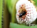 """中国天气网讯 5月21日,贵州省黎平县正值插秧时节,在田边地角、路边溪畔、房前屋后总会有一簇簇让人垂涎欲滴的野生浆果,不免勾起了人们美好的童年回忆。图为""""捷足先登""""的蚂蚁。(韦方龙/摄)"""