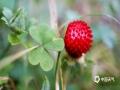 中国天气网讯 5月21日,贵州省黎平县正值插秧时节,在田边地角、路边溪畔、房前屋后总会有一簇簇让人垂涎欲滴的野生浆果,不免勾起了人们美好的童年回忆。图为蛇莓。(韦方龙/摄)