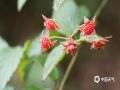 中国天气网讯 5月21日,贵州省黎平县正值插秧时节,在田边地角、路边溪畔、房前屋后总会有一簇簇让人垂涎欲滴的野生浆果,不免勾起了人们美好的童年回忆。图为未成熟的木莓。(韦方龙/摄)