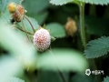 中国天气网讯 5月21日,贵州省黎平县正值插秧时节,在田边地角、路边溪畔、房前屋后总会有一簇簇让人垂涎欲滴的野生浆果,不免勾起了人们美好的童年回忆。图为黄毛草莓,又称为野草莓、白泡儿。(韦方龙/摄)