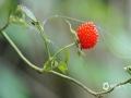 中国天气网讯 5月21日,贵州省黎平县正值插秧时节,在田边地角、路边溪畔、房前屋后总会有一簇簇让人垂涎欲滴的野生浆果,不免勾起了人们美好的童年回忆。图为鲜甜的刺泡子。(韦方龙/摄)