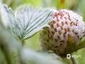 中国天气网讯 5月21日,贵州省黎平县正值插秧时节,在田边地角、路边溪畔、房前屋后总会有一簇簇让人垂涎欲滴的野生浆果,不免勾起了人们美好的童年回忆。图为路边成片的黄毛草莓。(韦方龙/摄)
