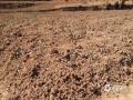 图为高温少雨的云南曲靖市沾益区,当地种植的玉米苗几乎没有水分供给,叶片已经开始萎缩。(文/雷波 图/张朴丽)