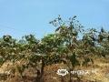 今年1月1号至5月22日,四川攀枝花累计降水量较常年同期偏少87%,平均世界杯手机投注网站偏高1℃,持续炎热少雨,当地旱情明显。图为当地种植的芒果树树叶已经干枯打蔫。(图)